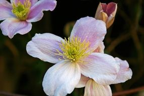 pink clematis flower with a yellow center