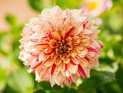 yellow pink dahlia flower