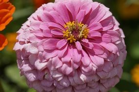 pink zinnia close up