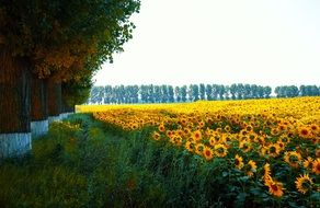 blooming Sunflowers in field, countryside landscape