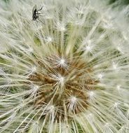 fluffy Dandelion with Seeds macro