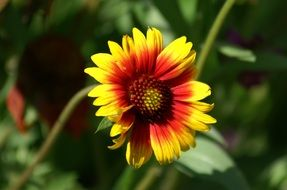 yellow-red daisy in the sun