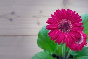 red gerbera flowers potted