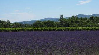 sea of lavender flowers in provence of France