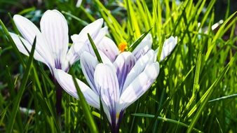 light purple crocus blossoms in spring