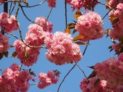 oriental cherry tree in spring