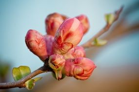 flower buds on quince branch