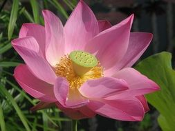 pink water lily with yellow stamens