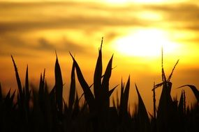 grass silhouette during sunset