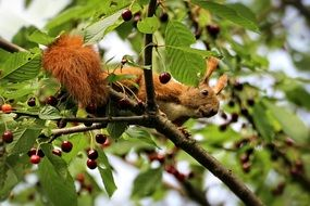 red squirrel on a cherry tree