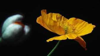 yellow poppy flower on a black background
