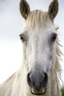 photo of a white horse full face