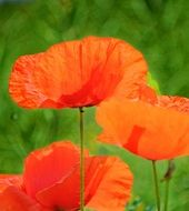red Poppy Summer color