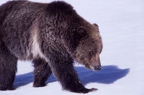 grizzly bear is walking on snow