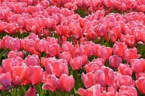 Pink Red Tulips