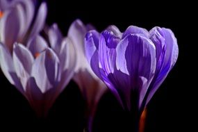 blue purple crocus flowers