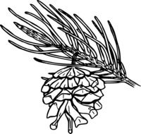 outline picture of pine branch with cone