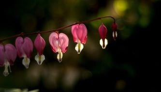 garden Bleeding Heart Flower