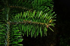 green coniferous branch on a black background