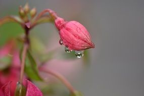 Raindrops on a pink flower in spring