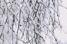 tree branches under snow cover