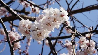 Apricot Blossom Wood Flowers