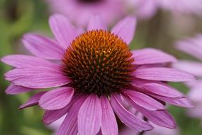 Purple Coneflower Flower macro