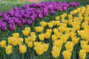 flower beds with different tulips