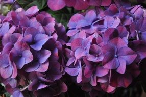 purple hydrangea flowers close-up
