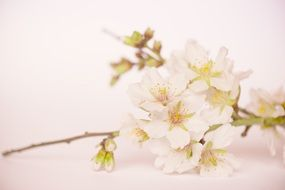 flowering almond branch close-up
