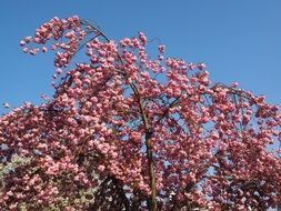 flowering ornamental cherry tree