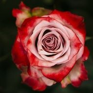 macro photo of a red-pink rose