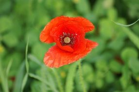 bright poppy early bloomer