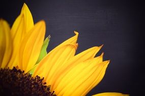 bright sunflower petals