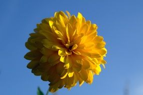 Rudbeckia, Yellow fluffy Flower at blue sky