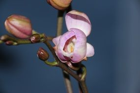 closed buds of purple orchid close-up
