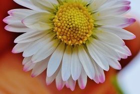 daisy like a pointed flower