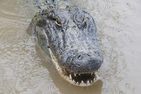 Head of the alligator in the water