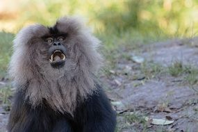potrait of wild Lion Tailed Macaque