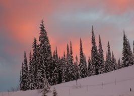 conifers in the snow against the sky with orange clouds