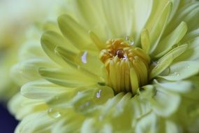 pale yellow dahlia in drops of water close-up