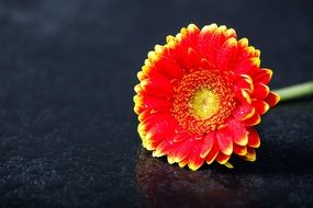 two-color gerbera on a dark
