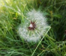 A lot of the white seeds on the dandelion flower