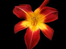 red yellow daylily