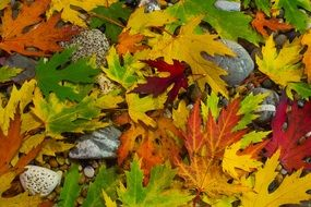 colourful autumn Foliage closeup