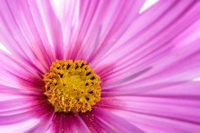 Cosmos Flower Macro Plant Bloom