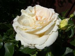 closeup photo of White shrub rose blossoms