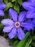 Purple clematis flowers blossom