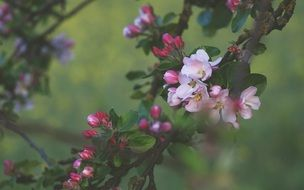 Pink apple tree flowers at blurred green background