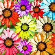 variety of colorful gerberas in the picture